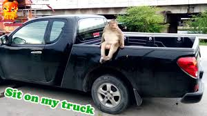 Look At This Monkey!!!! It Sit On My Truck - YouTube Rare Pg Tips Brooke Bond Monkey Chimp Lledo Milk Float Truck Van Gas Monkey Garage I Love This Dream Toys Pinterest Purple Mud Truck Catches Some Serious Nitrous Fire In 20 Diesel Burnouts At Live Youtube Graphics For Mudd Renovations Betacuts Custom Vinyl On Twitter Whos Going To Take These Keys From Lone Star Thrdown 2017 Bodyguard Truckin Tuesday Monster Jam Hot Is Our Conut Demand Making Slaves Of Monkeys Inhabitat Hungry Tampa Bay Food Trucks 124 Scale Unboxing Review Look It Sit My