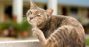 fleas on cats symptoms what are the symptoms of a flea problem for a cat