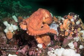 Decorator Crabs Reef Safe by British Columbia The Marine Detective