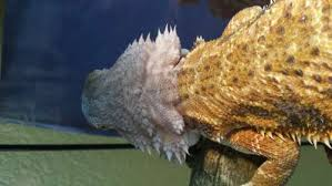 loss of color to the head bearded dragon org