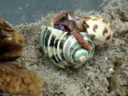 Do Hermit Crabs Shed Their Body by Hermit Crab Shell Change Youtube