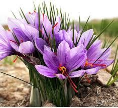 buy saffron bulbs kesar bulbs pack of 5 bulbs at cheap