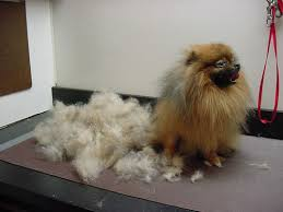 Do Bichon Pomeranians Shed by These Dogs Mind Blowingly Shed Enough Fur To Make Another Dog