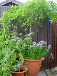 planting wisteria in a pot 2013 garden handmade with