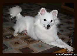 Toy American Eskimo Dog Shedding by Kodie American Eskimo Dog Miniature Small Dogs