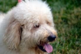 Non Shedding Large Dogs by Double Doodle Dog Breed Information Pictures U0026 More