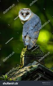Barn Owl Tito Alba Nice Bird Stock Photo 404687149 - Shutterstock This Galapagos Barn Owl Lives With Its Mate On A Shelf In The Baby Barn Owl Owls Pinterest Bird And Animal Magic Tito Alba Sitting On Stone Fence In Forest Barnowl Real Owls Echte Uilen Wikipedia Secret Kingdom Young Tyto Roost Stock Photo 206862550 Shutterstock 415 Best Birds Mostly Uk Images Feather Nature By Annette Mckinnnon 63 2 30 Bird Great Grey