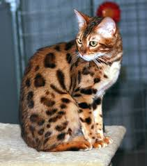 Cat Breeds That Dont Shed Cats Types Cats That Don t Shed Hair