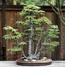 pot bonsai grande taille bonsaï introduction