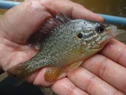 Pumpkin Seed Sunfish Pictures by Extreme Philly Fishing September 2013