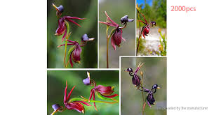 1 34 flying duck orchid flower seeds china beautiful orchid