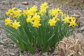 yard and garden proper timing planting and care for daffodil