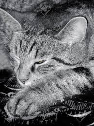 Was Kostet Eine Kã Che Leicht Tabby Katze Döst Ein Auge Ist Leicht Geöffnet Die Pfote Ist Nach Vorne Gestreckt Foto Getönten