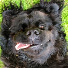 Do Newfoundlands Shed Hair by Harley My Big Beautiful Newfoundland Dogs And Puppies