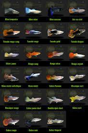 poisson eau douce aquarium tropical variétés de guppy http www aquachange fr boutique poissons