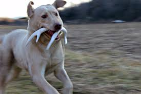 Deer Antler Shed Hunting by Shed Hunting Training Phase 1 Lion Country Supply Hunting Dog