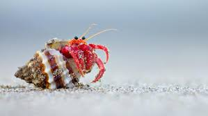 Do Hermit Crabs Shed Their Whole Body by Crabs Reference Com