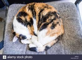Siberian Cat Hair Shedding by Shedding Of Hair Stock Photos U0026 Shedding Of Hair Stock Images Alamy