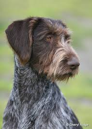 Griffon German Wirehaired Pointer Shedding by German Wirehaired Pointer Love Love Love Hunde Pinterest