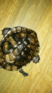 Turtle Shell Not Shedding Properly by Kira Refuses To Shed Scutes Shell Has Become A Problem