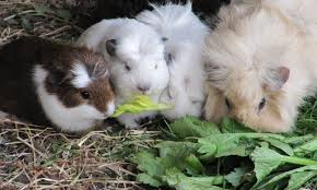 Can Rabbits Eat Pumpkin Seeds by All Things Guinea Pig Top Tips For Cavy Care