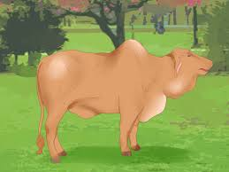 bred si e social how to when a heifer or cow is ready to be bred 8 steps