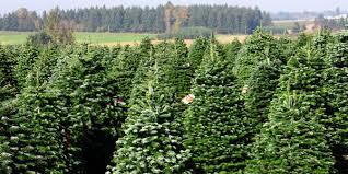 Nordmann Fir Christmas Trees Wholesale by Wholesale Christmas Trees From Oregon