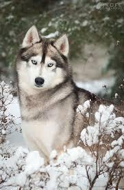 1087 best sled dogs images on pinterest siberian huskies sled