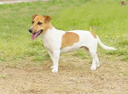 Small White Non Shedding Dog Breeds by Jack Russell Dog Breed Information Buying Advice Photos And