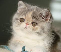shorthair cat price mewz and cats and kittens az arizona cattery