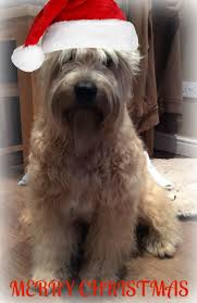 Do Wheaten Terrier Puppies Shed by 294 Best Wheaten Terriers Images On Pinterest Terriers Friends