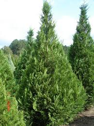 Leyland Cypress Christmas Tree Smell by Farm Photos U2014 Days Of Creation