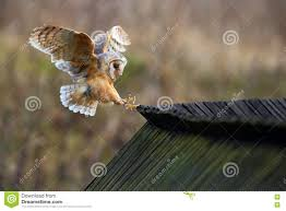 Barn Owl, Tyto Alba, Bird Landing On Wooden Roof, Action Scene In ... Barn Owl Landing Spread Wings On Stock Photo 240014470 Shutterstock Barn Owl Landing On A Post Royalty Free Image Wikipedia A New Kind Of Pest Control The Green Guide Fence Photo Wp11543 Wp11541 Flight Sequence Getty Images Imageoftheday By Subject Photographs Owls Kaln European Eagle Coming Into Land Pinterest Pictures And Bird