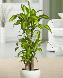 duftender drachenbaum buntblättrige zimmerpflanze