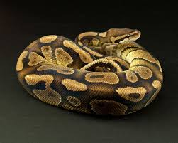 Ball Python Shedding Signs by Orangebelly Color Change