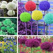oignon dans la chambre fleur 50 pcs sac géant oignon allium giganteum semences