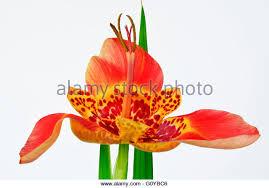tigridia pavonia stock photos tigridia pavonia stock images alamy