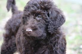 Dogs That Shed Minimally by Scratch Dog Or Not U2013 Are Labradoodles Hypoallergenic