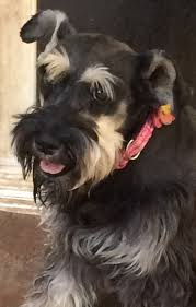 Do Giant Schnauzer Dogs Shed Hair by California Bred Miniature Schnauzers For Happy Homesfrom Our Heart
