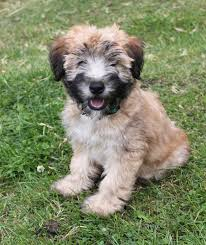 Do Wheaten Terriers Shed by 18 Wheaten Terriers Do They Shed Medium Sized Dogs That Don
