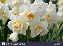 narcissus bridal crown stock photo royalty free image