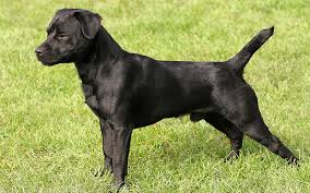 A Complete Guide To The Patterdale Terrier