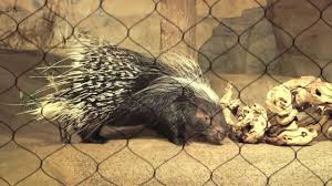 Porcupine Eats Pumpkin by A Porcupine Literally Grows Long In The Tooth Abc7chicago Com