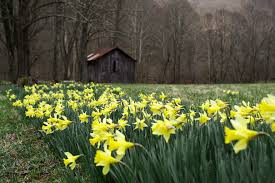 File:Spring-Daffodils-Barn-Flowers ForestWander.JPG - Wikimedia ... The Flower Barn Free Images Tree Branch Wood Leaf Flower Barn Food Home Spring Wedding Flowers By Olga Winter Blue Twig Canada Virginia Local Dinner Healthfully Ever After 3 Livermore Falls Advtiser Tritown Garden Clubs Cherry Hill Pennock Floral My Delivers Joy Through Flowers South Platte