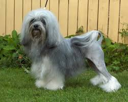 Best Dog Breeds That Dont Shed by Top 10 Dogs That Don U0027t Shed Hair Southern India Aquaculture