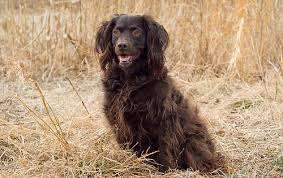 Chesapeake Bay Retriever Molting by Chesapeake Bay Retriever Information Dog Breed Atlas