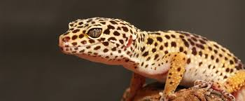 Do Leopard Geckos Shed leopard gecko lehigh valley zoo