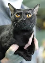 bombay cats bombay cat breed profile metaphorical platypus