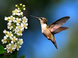Hummingbird Just Looking Hummingbird Print Wall Art Bird