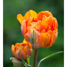 regal tulip orange princess from 癸6 95